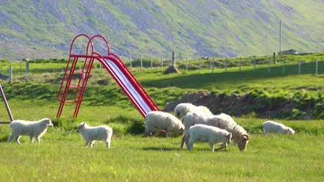 Sheep-walk-through-a-children-s-playground-in-Iceland-1