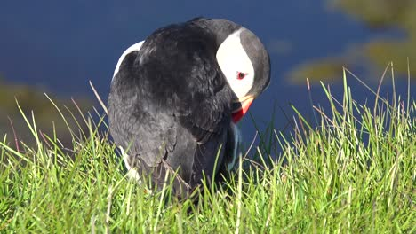 Nice-closeup-of-a-cute-puffin-posing-on-the-coast-of-Iceland-near-Latrabjarg-4