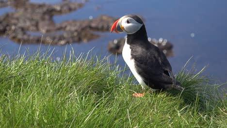 Nice-closeup-of-a-cute-puffin-posing-on-the-coast-of-Iceland-near-Latrabjarg-20
