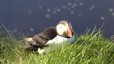 Nice-closeup-of-a-cute-puffin-posing-on-the-coast-of-Iceland-near-Latrabjarg-22