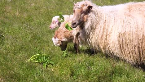 Schafe-In-Dicken-Wollmänteln-Und-Babyschafe-Fressen-Blätter-An-Den-Hängen-Islands-Westmann-Inseln-Vestmannaeyjar
