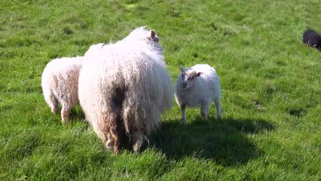 Baby-sheep-suckle-from-their-mother-on-the-hillsides-of-Iceland-Westmann-Islands-Vestmannaeyjar