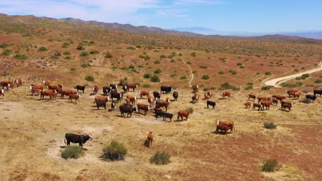 Nice-aerial-over-cattle-and-cows-grazing-on-the-Carrizo-Plain-desert-ranching-region-California-1