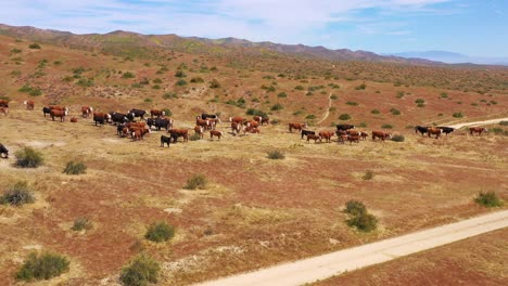Nice-aerial-over-cattle-and-cows-grazing-on-the-Carrizo-Plain-desert-ranching-region-California-3