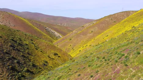 Vista-Aérea-of-a-California-hillside-covered-with-yellow-wildflowers-during-superbloom-and-allergy-season