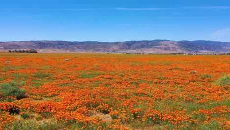 Aerial-of-California-poppy-flowers-and-fields-in-full-bloom-during-springtime-and-superbloom