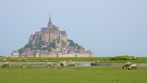 Fields-of-sheep-and-farm-grass-with-Mont-Saint-Michel-monastery-in-Normandie-France-background