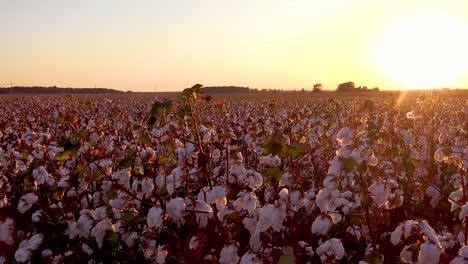 Pan-across-beautiful-fields-of-cotton-growing-in-a-Mississippi-Delta-farm-field