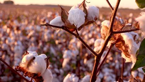 Extreme-Nähe-Von-Baumwollfeldern-Die-Bei-Sonnenuntergang-In-Einem-Mississippi-Delta-Farmfeld-Wachsen