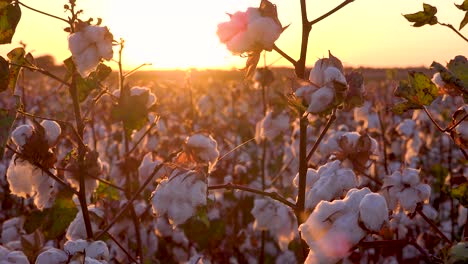 Extreme-close-of-fields-of-cotton-growing-in-a-Mississippi-Delta-farm-field-at-sunset-1