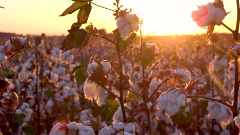 Panning-extreme-close-of-fields-of-cotton-growing-in-a-Mississippi-Delta-farm-field-at-sunset