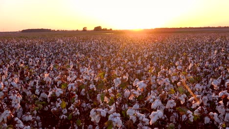 Panning-wide-of-fields-of-cotton-growing-in-a-Mississippi-Delta-farm-field-at-sunset