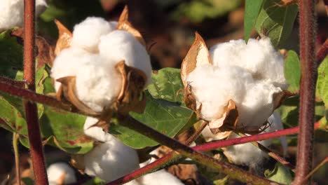 Extreme-close-up-of-cotton-growing-in-a-field-in-the-Mississippi-River-Delta-region