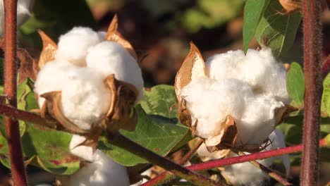 Slow-zoom-of-cotton-growing-in-a-field-in-the-Mississippi-River-Delta-region