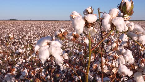 Slow-pan-of-cotton-growing-in-a-field-in-the-Mississippi-River-Delta-region-1