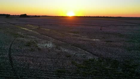 Good-aerial-at-sunset-of-cotton-growing-in-a-field-in-the-Mississippi-River-Delta-region-2