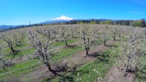 An-aerial-image-traveling-low-over-blooming-apple-trees-reveals-Mt-Hood-Oregon-in-the-distance