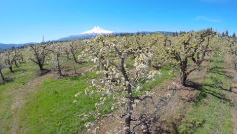 Un-Vuelo-Aéreo-Sobre-Manzanos-En-Flor-Revela-El-Monte-Hood-Oregon-En-La-Distancia