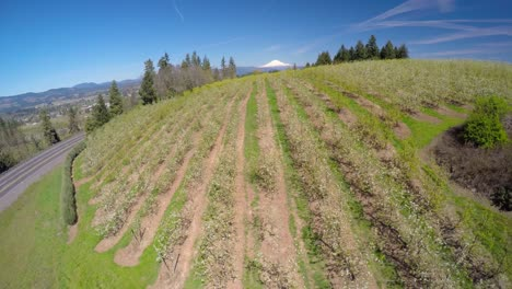An-aerial-image-rising-up-over-blooming-apple-trees-reveals-Mt-Hood-Oregon-in-the-distance