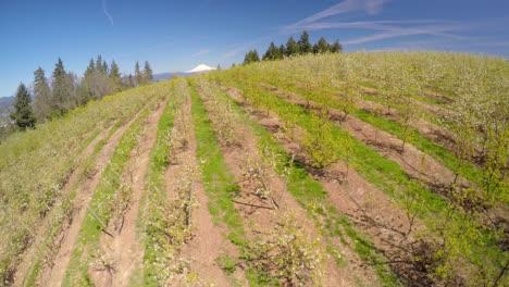 Un-Vuelo-Aéreo-Sobre-Manzanos-En-Flor-Revela-Mt-Hood-Oregon-En-La-Distancia-1