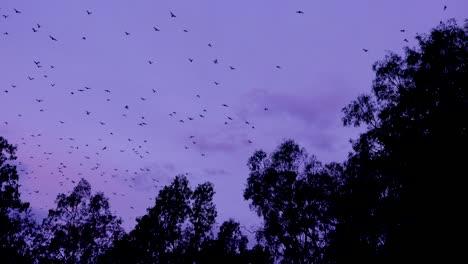 Tausende-Von-Fledermäusen-Fliegen-In-Der-Abenddämmerung-Im-Carnarvan-National-Park-Queensland-Australien-In-Den-Himmel