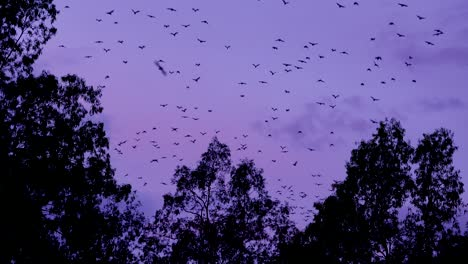 Thousands-of-bats-take-to-sky-in-flight-at-dusk-in-Carnarvan-National-Park-Queensland-Australia-1