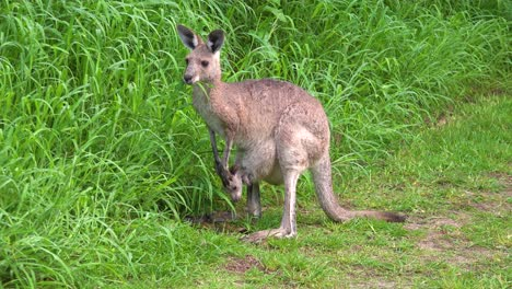 A-kangaroo-with-a-baby-in-its-pouch-grazes-on-grass-in-Carnarvan-National-Park-Queensland-Australia