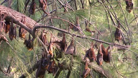 Giant-fruit-bats-hang-from-trees-in-Carnarvan-National-Park-Queensland-Australia-1