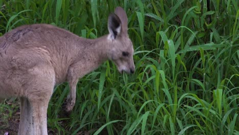 A-kangaroo-with-a-baby-in-its-pouch-grazes-on-grass-in-Carnarvan-National-Park-Queensland-Australia-1