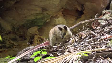 Plano-Medio-De-Un-Bebé-Wallaby-En-El-Parque-Nacional-Carnarvan-Queensland-Australia