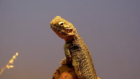 Prodile-shot-of-a-central-netted-dragon-lizard-in-the-outback-of-Australia
