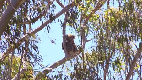 A-cute-koala-bear-sits-in-a-eucalyptus-tree-in-Australia