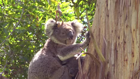 A-cute-koala-bear-sits-in-a-eucalyptus-tree-in-Australia-with-baby