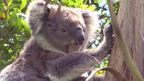 A-cute-koala-bear-sits-in-a-eucalyptus-tree-in-Australia-1