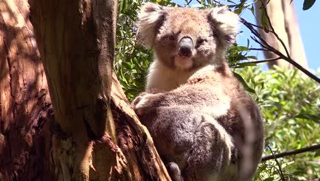 A-cute-koala-bear-sits-in-a-eucalyptus-tree-in-Australia-2