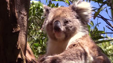 Un-Lindo-Oso-Koala-Se-Sienta-En-Un-árbol-De-Eucalipto-En-Australia-3