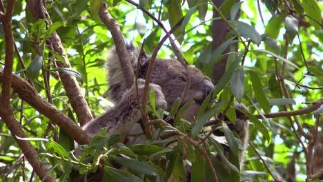 Un-Lindo-Oso-Koala-Se-Sienta-En-Un-árbol-De-Eucalipto-Comiendo-Hojas-En-Australia