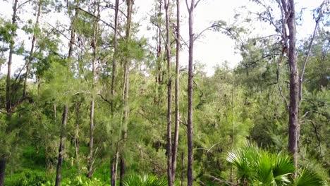 Rising-vista-aérea-of-thousands-of-fruit-bats-hanging-from-trees-in-Carnarvon-National-Park