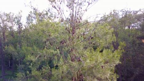 Steigende-Antenne-Von-Tausenden-Von-Flughunden-Die-Von-Bäumen-Im-Carnarvon-Nationalpark-Hängen-1