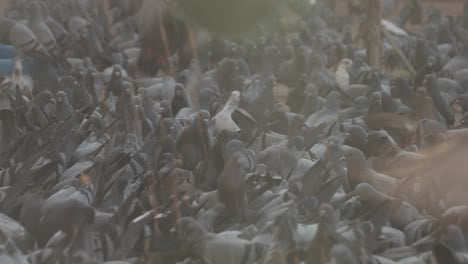 Thousands-of-pigeons-crowd-around-the-grounds-of-a-Buddhist-Temple-in-Nepal