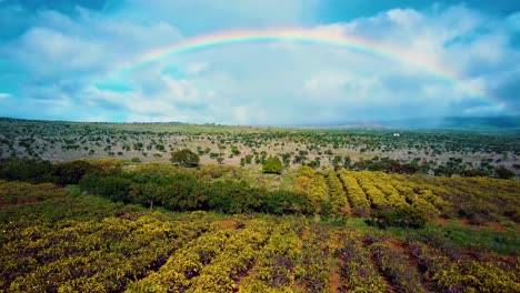 Nice-aerial-shot-rising-above-trees-in-an-orchard-with-large-rainbow-arcing-in-distance