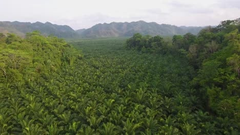 Aerial-over-a-young-coffee-plantation-on-hillsides-in-Coban-Guatemala-5
