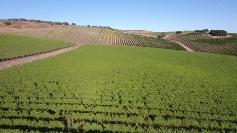 Beautiful-aerial-of-hilly-vineyards-in-the-grape-growing-region-of-Californias-santa-rita-appellation-11