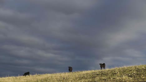A-beautiful-early-morning-shot-of-cattle-in-a-wide-open-Montana-pasture-1