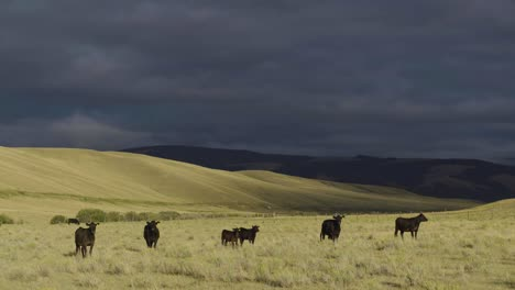 A-beautiful-early-morning-shot-of-cattle-in-a-wide-open-Montana-pasture-2