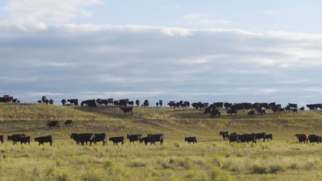 A-beautiful-early-morning-shot-of-cattle-in-a-wide-open-Montana-pasture-3
