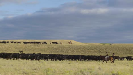 Cowboys-on-horseback-during-an-early-morning-roundup-of-a-herd-of-cattle-in-Montana-3