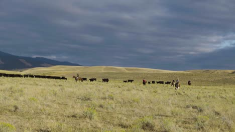 Cowboys-on-horseback-during-an-early-morning-roundup-of-a-herd-of-cattle-in-Montana-5