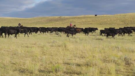Vaqueros-A-Caballo-Durante-Una-Madrugada-Redada-De-Un-Rebaño-De-Ganado-En-Montana-7