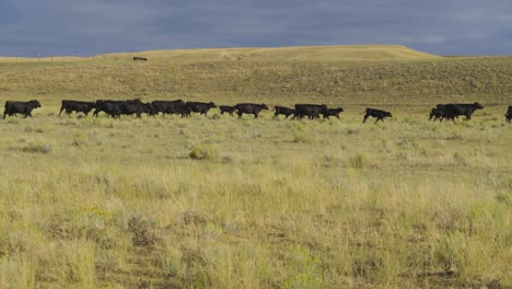 A-beautiful-early-morning-shot-of-a-herd-of-cattle-on-the-move-in-an-open-Montana-pasture-1